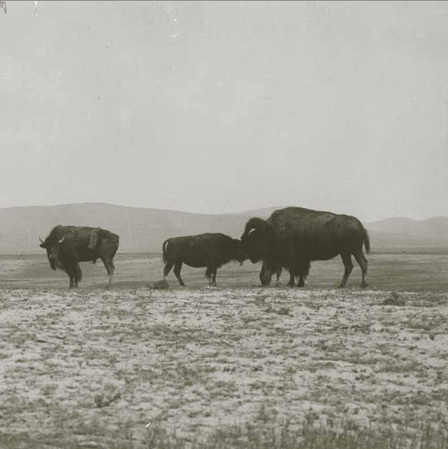Hetzler works with the InterTribal Bison Cooperative to source bison for his restaurant.