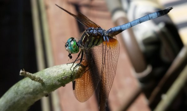 A dragonfly enjoying his lunch on a sunny day  thumbnail