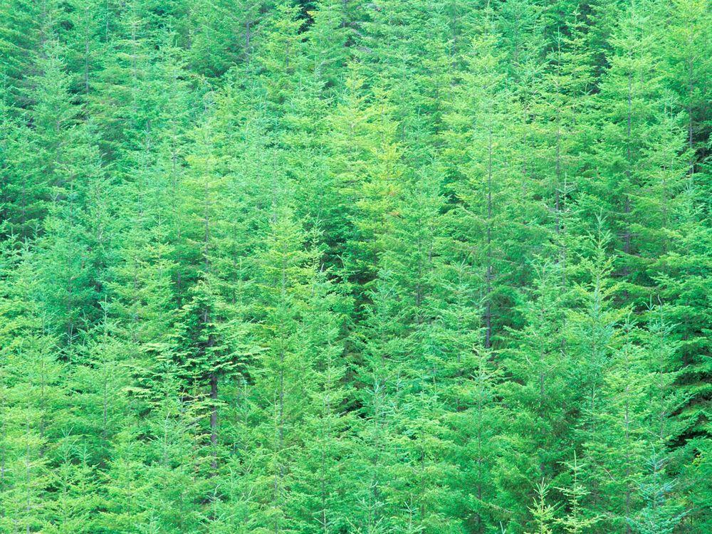 young douglas fir trees.jpg
