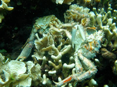 Low oxygen caused the death of these corals and others in Bocas del Toro, Panama. The dead crabs pictured also succumbed to the loss of dissolved oxygen.