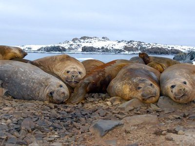Southern elephant seals normally live in the South Atlantic, often as far south as Antarctica. These are young male Southern elephant seals from the South Shetland and Anvers islands, Antarctica.