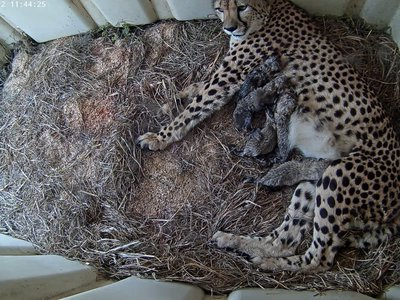Viewers can watch mom Rosalie carefor her five newborn cheetah cubs on a live streaming webcam.