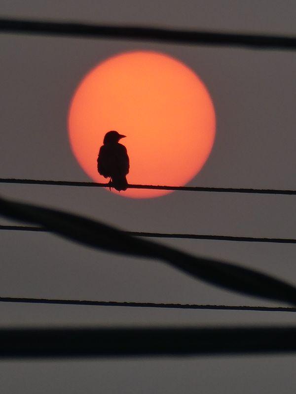 Crow at Sunset thumbnail