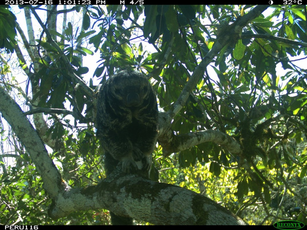 A camera trap photo of a saki monkey standing on a leafy tree branch high in the canopy of Peru's rainforest.