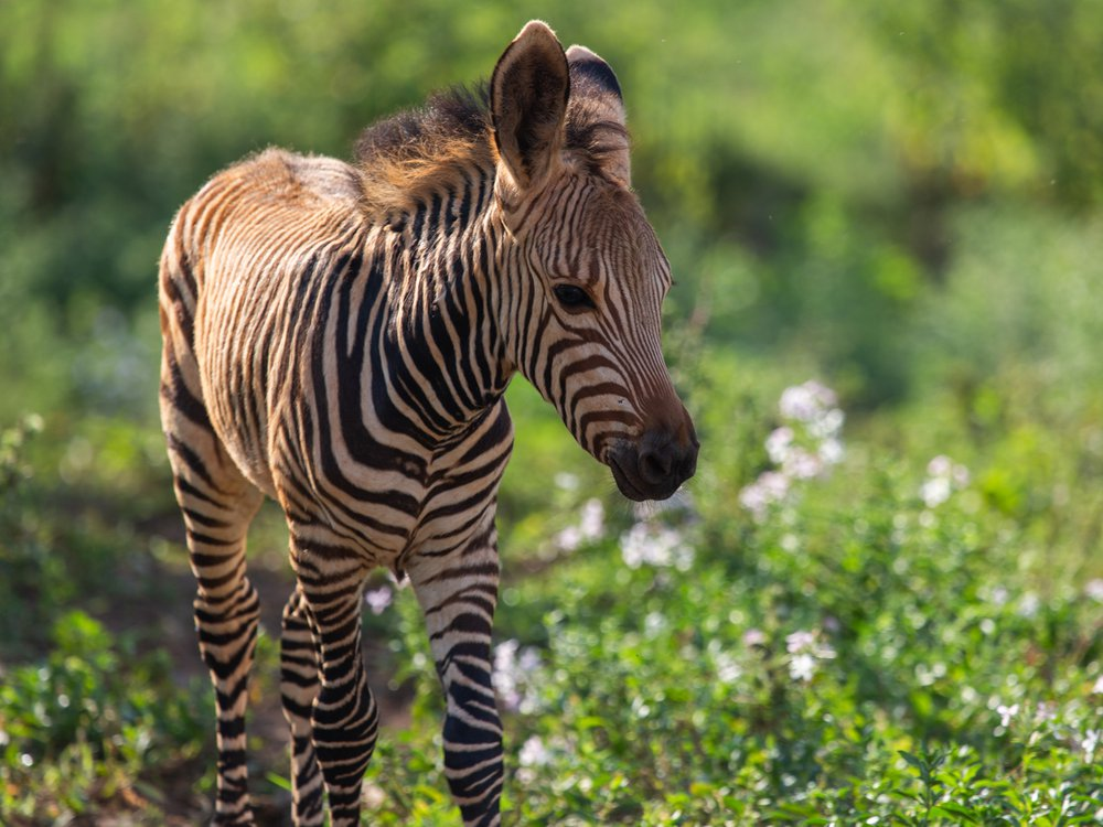 This young Hartmann's mountain zebra colt, born in July 2020, was a first for the Smithsonian Conservation Biology Institute.