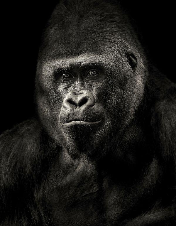 Portrait of a Silverback Gorilla thumbnail
