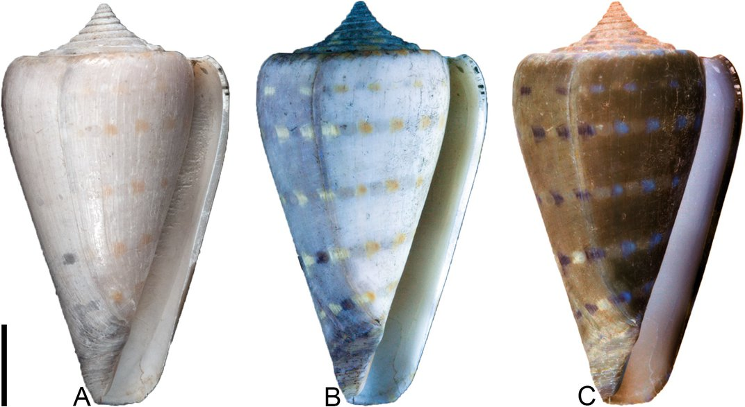 This shell shows the effects of oxidation -- darker colors in the right-hand portion. By Jonathan Hendricks, via PLOS ONE