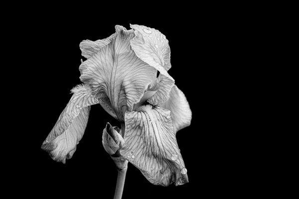 Iris After the Rain in Black and White thumbnail