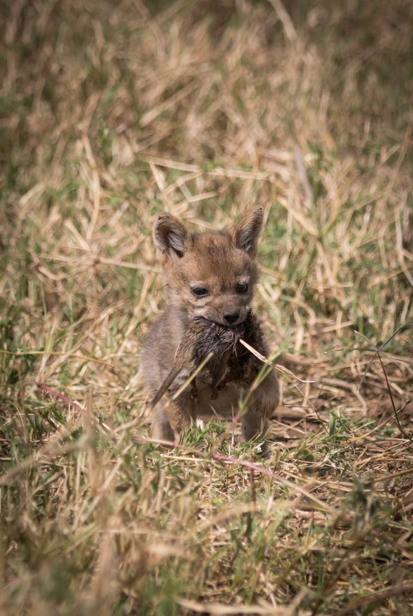 11-Month-Old Baby Black-backed Jackal with Dead Mouse thumbnail