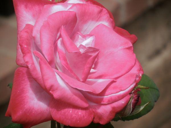 ROSE SERIES HOT PINK MAGENTA ROSE  thumbnail