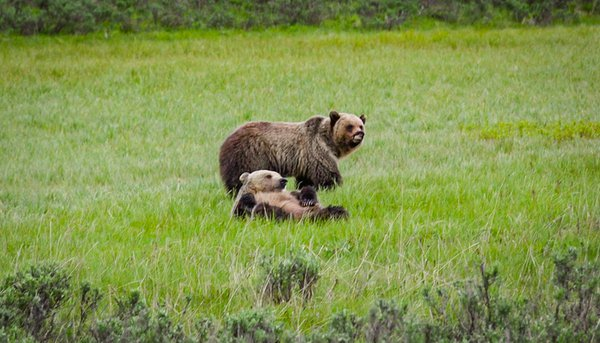 Snaggle-Tooth and Other Grizzly in Yellowstone thumbnail