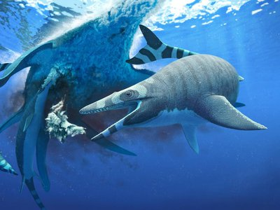 An artist's rendering of a new species of mosasaur named Xenodens calminechari. The marine reptile was about the size of a porpoise and had serrated shark-like teeth.