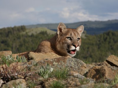 Even top predators like pumas flee in our presence. Worse, they might be disrupting entire food chains as they go.