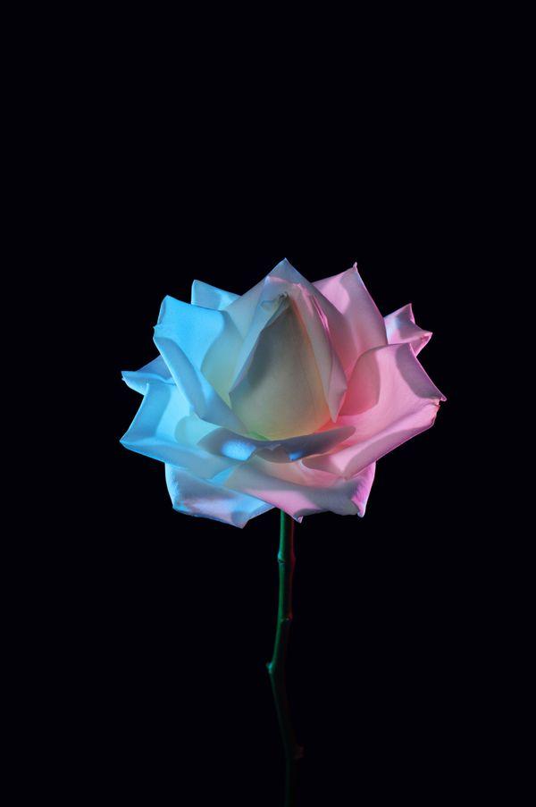 A beautiful rose thumbnail
