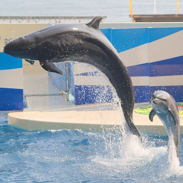 A false killer whale and a bottlenose dolphin hanging out at a zoo in Japan.