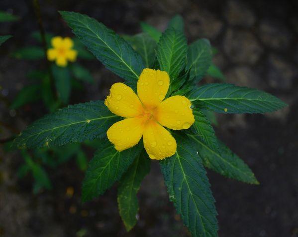 Yellow Flower in Morning thumbnail