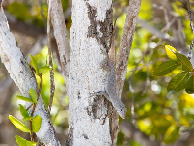 Anolis scriptus, the Turks and Caicos anole, on Pine Cay