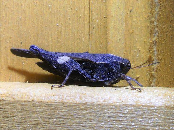 Blue Grasshopper thumbnail