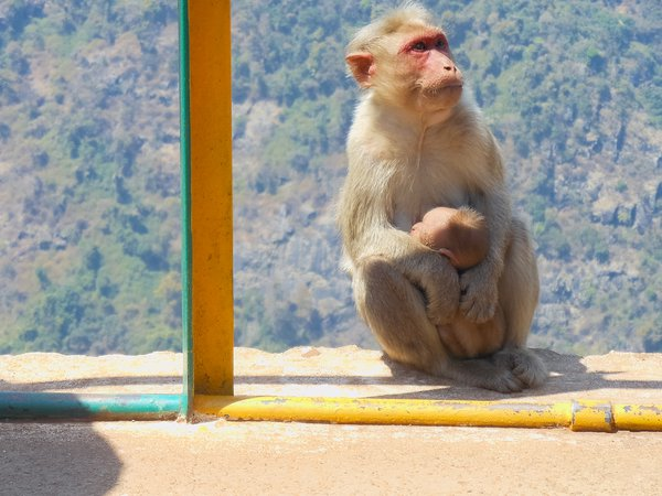 Monkey mama and baby amidst tourists thumbnail