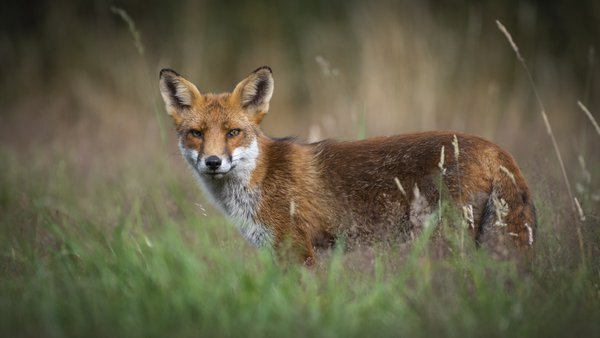 Red Fox in a meadow thumbnail