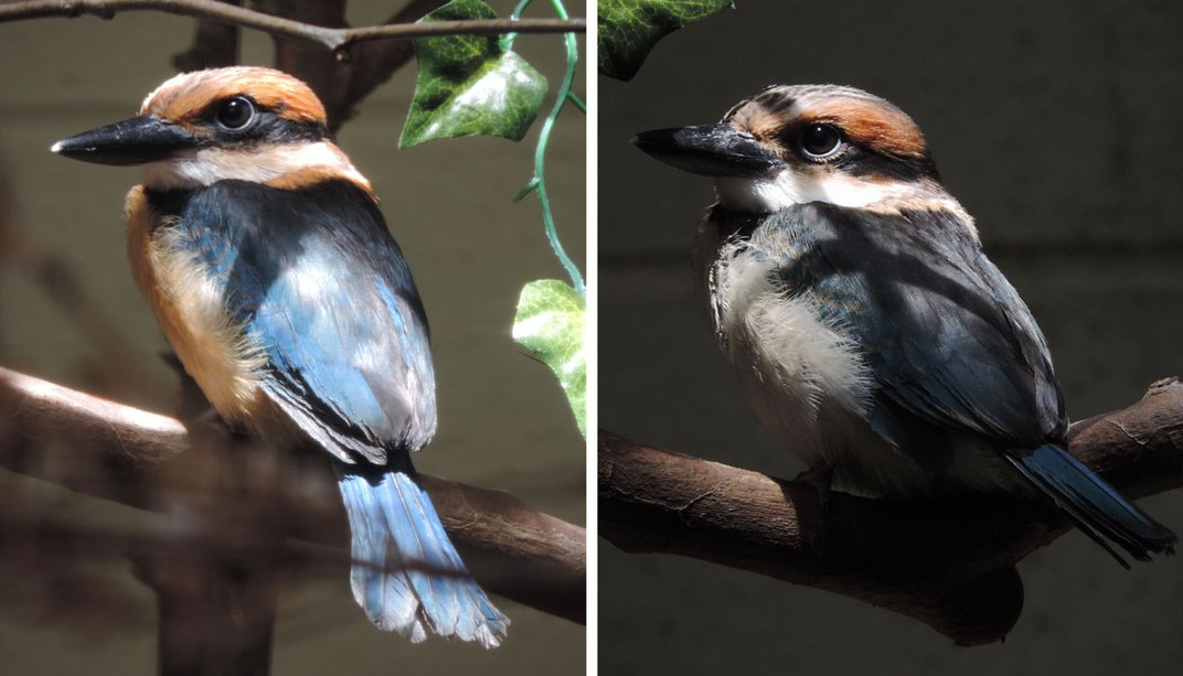 Juvenile Guam kingfisher siblings Gekpu (left) and Lina'la' (right), each perched on a branch.