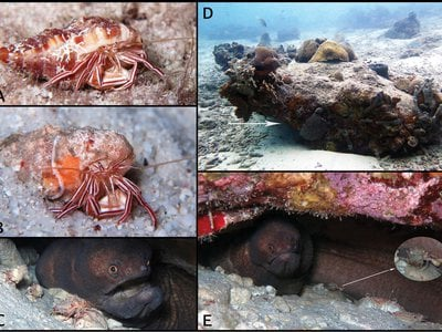 From top left: (A and B) The new species Pylopaguropsis mollymullerae in Bonaire; (C and E) the new species in a den with a broad banded moray (D) the new species' coral ledge habitat.