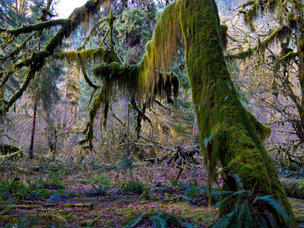 Hoh Rainforest moss