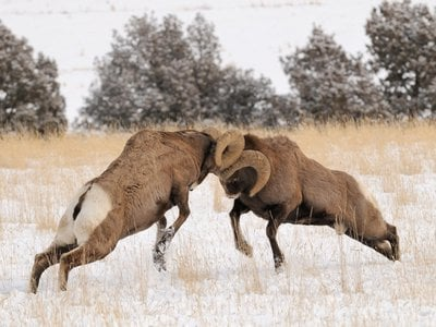 A ram's thick skull protects its brain from serious injury.