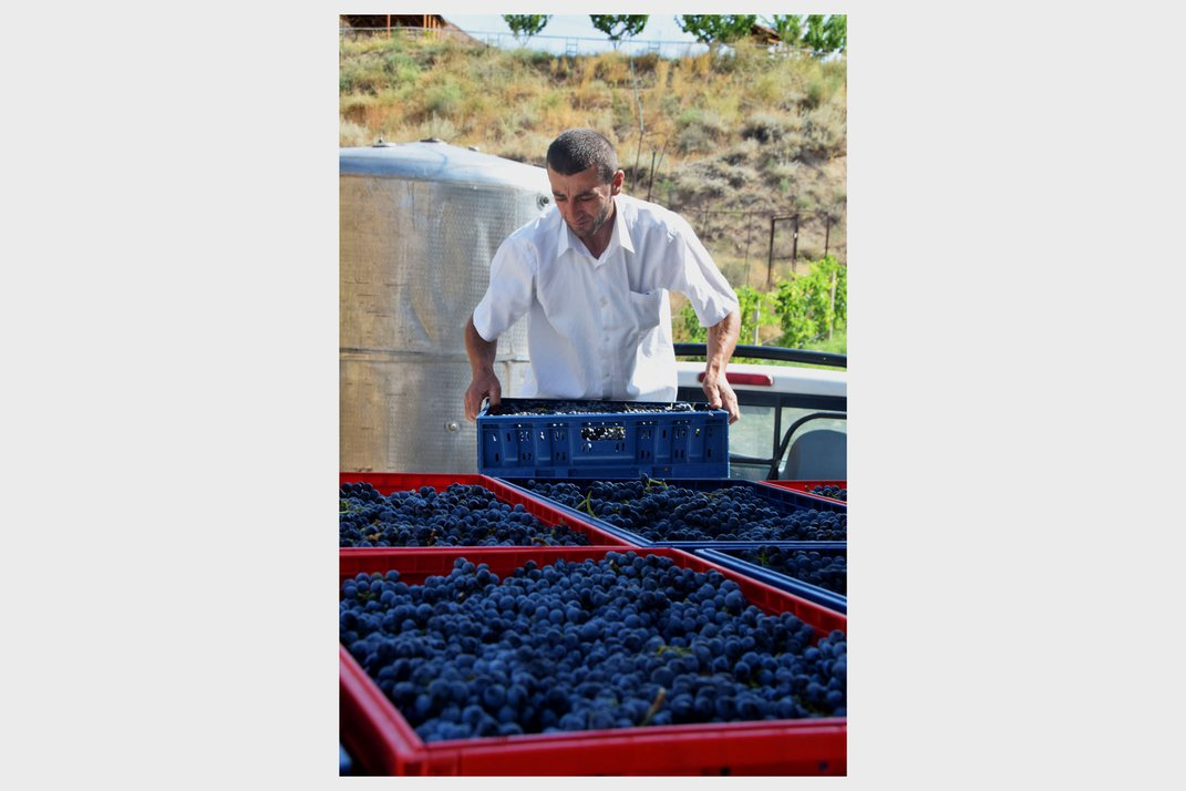 During the grape harvest, a man clutches a red plastic container of sorted grapes.
