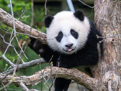 As we prepare to celebrate giant panda cub Xiao Qi Ji's first birthday Aug. 21, take a look back at his top 12 milestones that left panda fans around the world in awe and