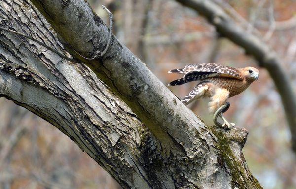 Snake wrapped around hawks leg thumbnail