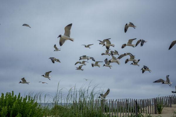 Swarm of Laughing Gulls  thumbnail