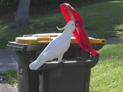 A sulfur-crested cockatoo flips open the lid of a bin.