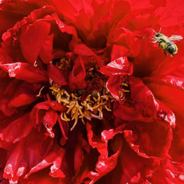 A bee and peony thumbnail