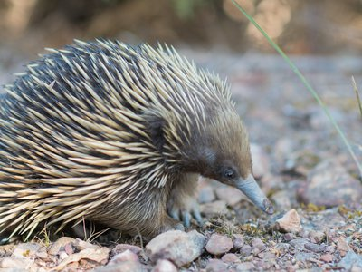 Echidnas have a four-headed penis, though only two heads are put to use at a time.