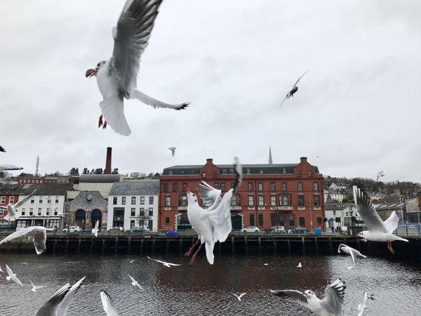 Pigeons in Cork, Ireland thumbnail