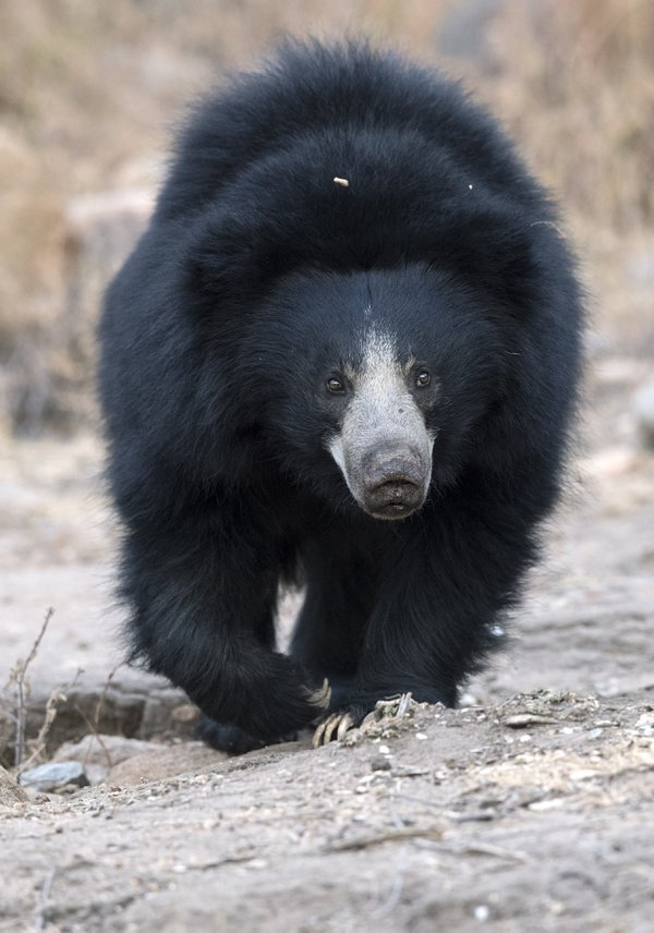 The sloth bear portrait thumbnail