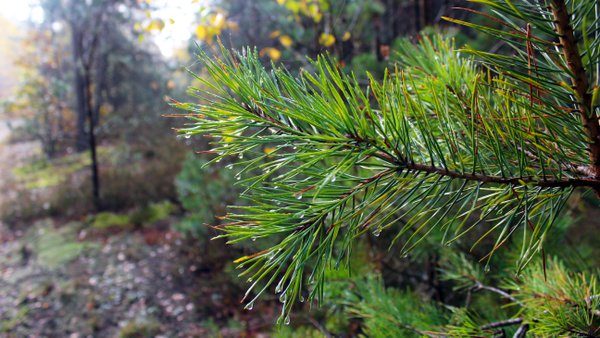 Scots pine branch with dewdrops on needles. thumbnail