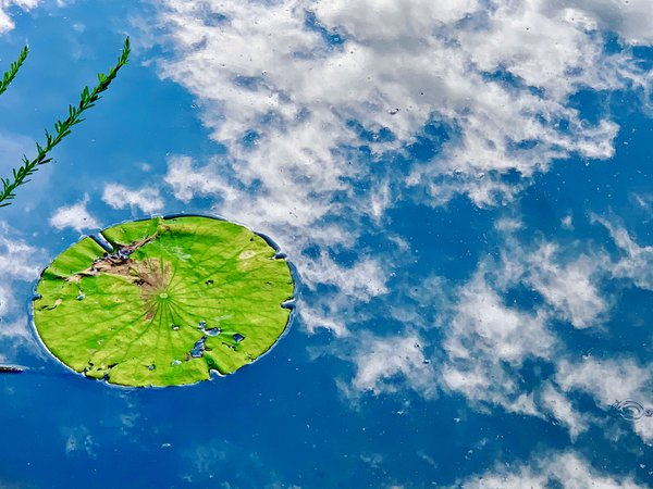 Lily pad with clouds reflecting in water thumbnail