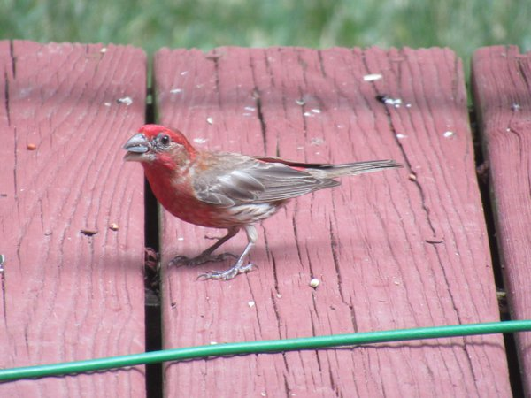 Purple finch on the porch thumbnail