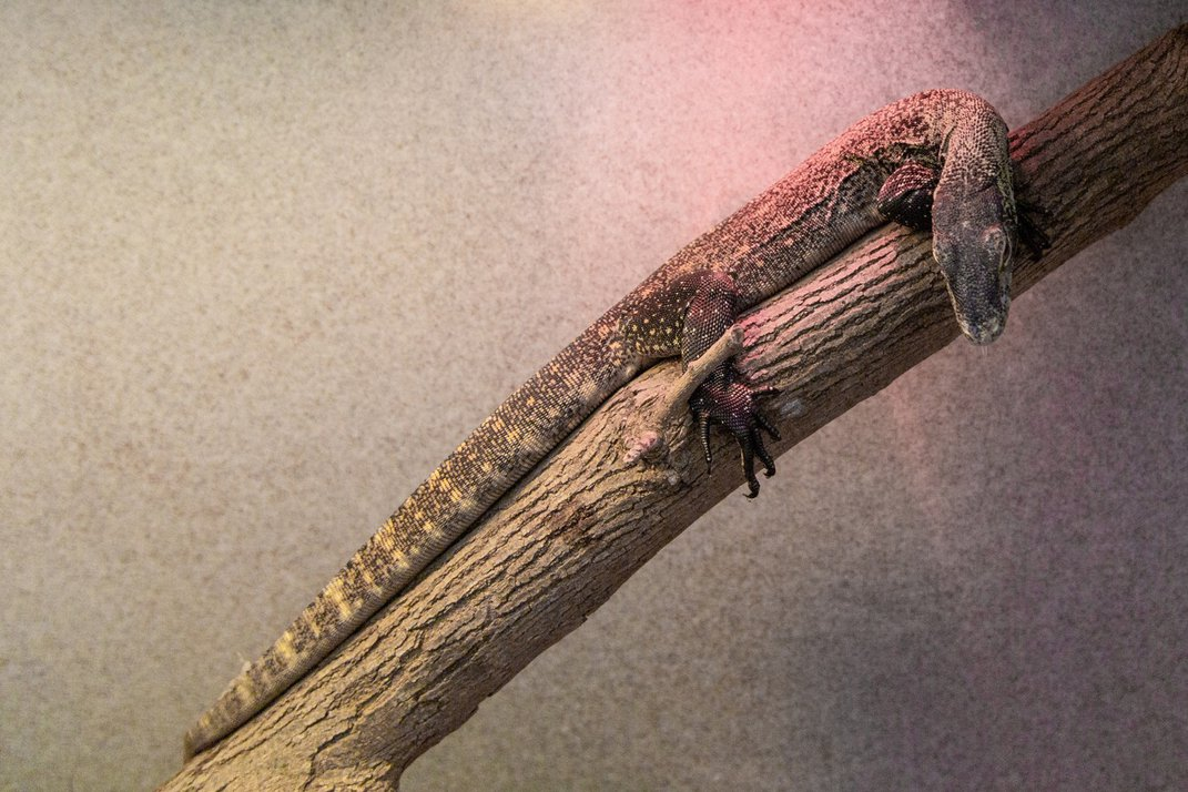 A juvenile Komodo dragon with a long, slender body, scaly skin, long toes and short claws rests on a tree branch