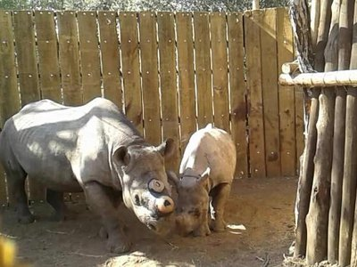 A mother and her calf, dehorned for safety in their new home.