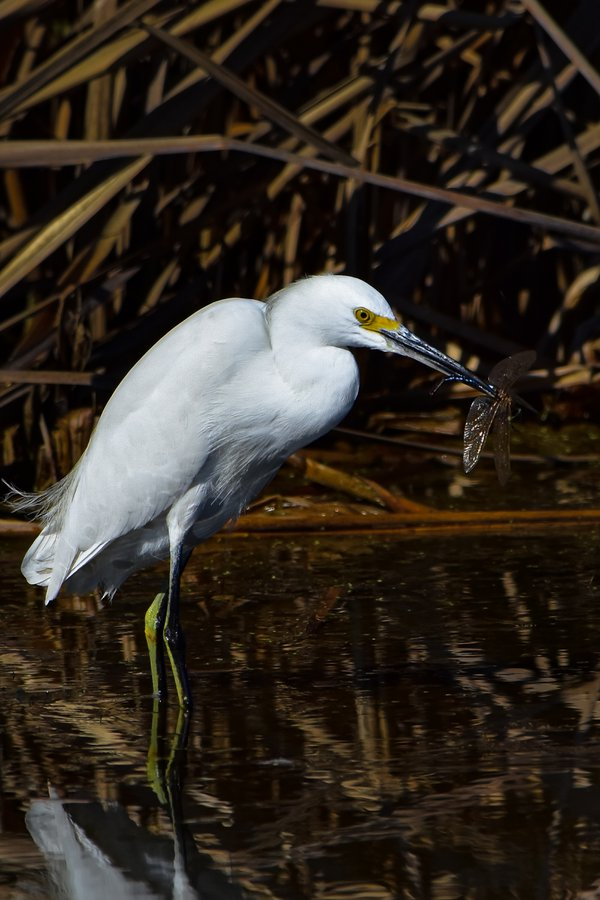 Snowy Egret eating a dragonfly thumbnail