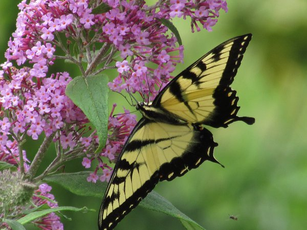 Swallowtail butterfly thumbnail