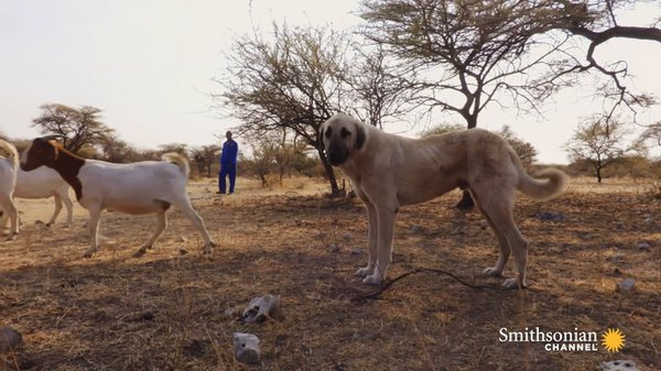 Preview thumbnail for This Anatolian Guard Dog Protects Both Livestock and Predators