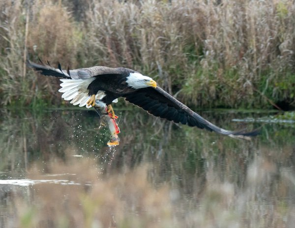 Eagle fishing thumbnail