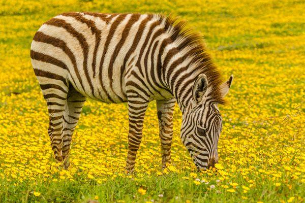 Zebra foal in flowers. thumbnail