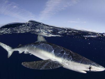 A blue shark near the Azores islands.