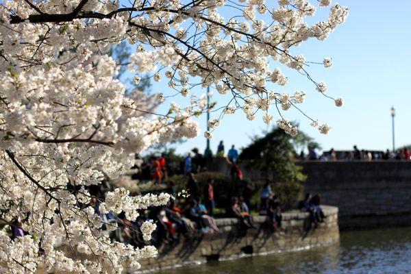 Cherry blossoms at the Tidal Basin. thumbnail