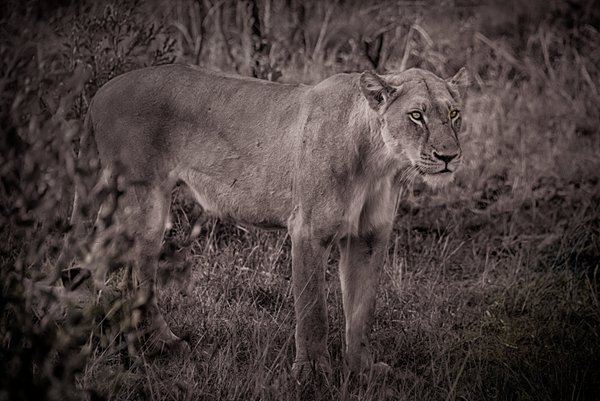 Lioness in alert thumbnail